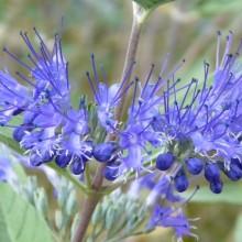 Caryopteris x clandonensis | květenství