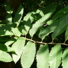 Castanea sativa | list