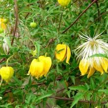 Clematis orientalis 'Corry'
