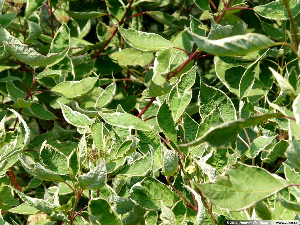 Cornus alba argenteomarginata sv da b l variegata for Cornus alba