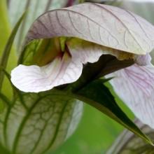 Acanthus balcanicus