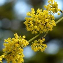 Cornus mas | květ