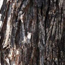 Corylus colurna | borka