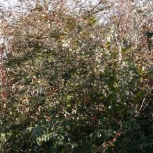 Cotoneaster salicifolius floccosus