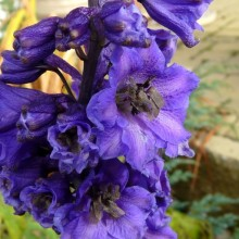 Delphinium x cultorum 'Pacific Black Knight'