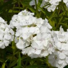 Dianthus barbatus 'Bílý'
