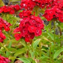 Dianthus barbatus 'Šarlatový'