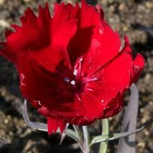 Dianthus hybr. 'Charm Crimson'