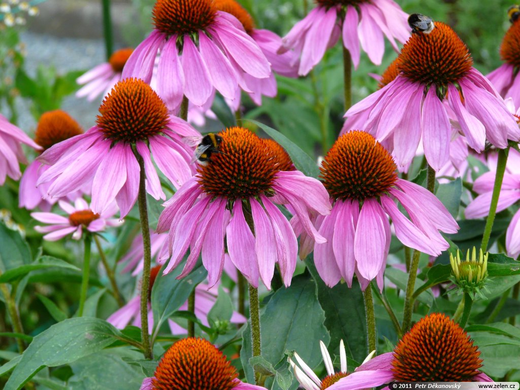 echinacea purpurea pictures. Black Bedroom Furniture Sets. Home Design Ideas