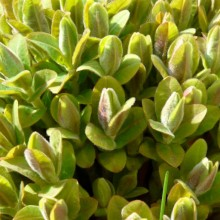 Euphorbia villosa