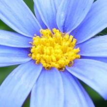 Felicia amelloides 'Blue Daisy'