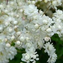 Filipendula vulgaris 'Flore Pleno'