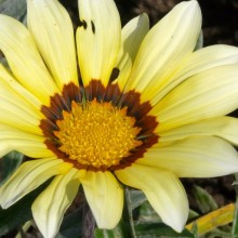 Gazania x splendens 'Talent White'