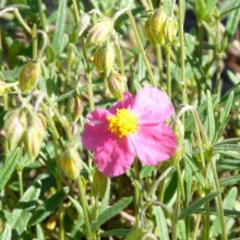 Helianthemum hybr.