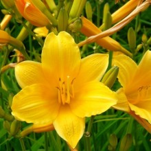 Hemerocallis hybr. 'Daily Bread'