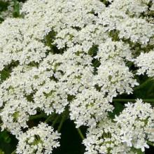 Heracleum antasiaticum