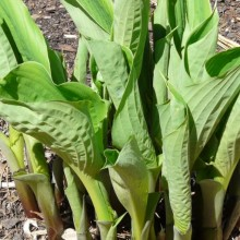 Hosta hybr. 'Sum and Substance'