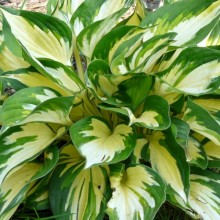 Hosta hybr. 'Morning Lights'