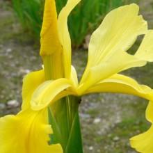 Iris spuria 'Sunny Day'