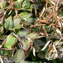 Lathyrus vernus | otevřené lusky