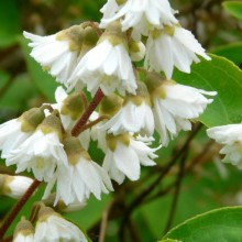 Deutzia scabra | květ
