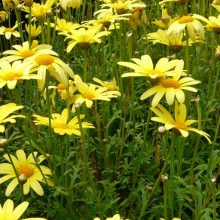 Argyranthemum frutescens 'Yellow Star'