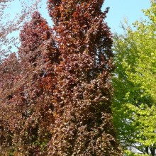Fagus sylvatica 'Red Obelisk'