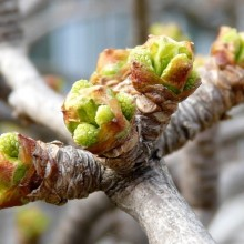 Ginkgo biloba 'Pragensis' | rašící pupen