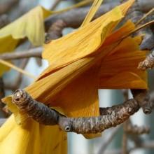 Ginkgo biloba 'Pragensis' | list