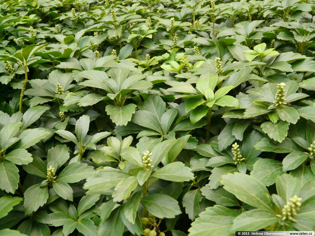 pachysandra terminalis pachysandra terminalis variegata pachysandra 800 800 classic formal. Black Bedroom Furniture Sets. Home Design Ideas
