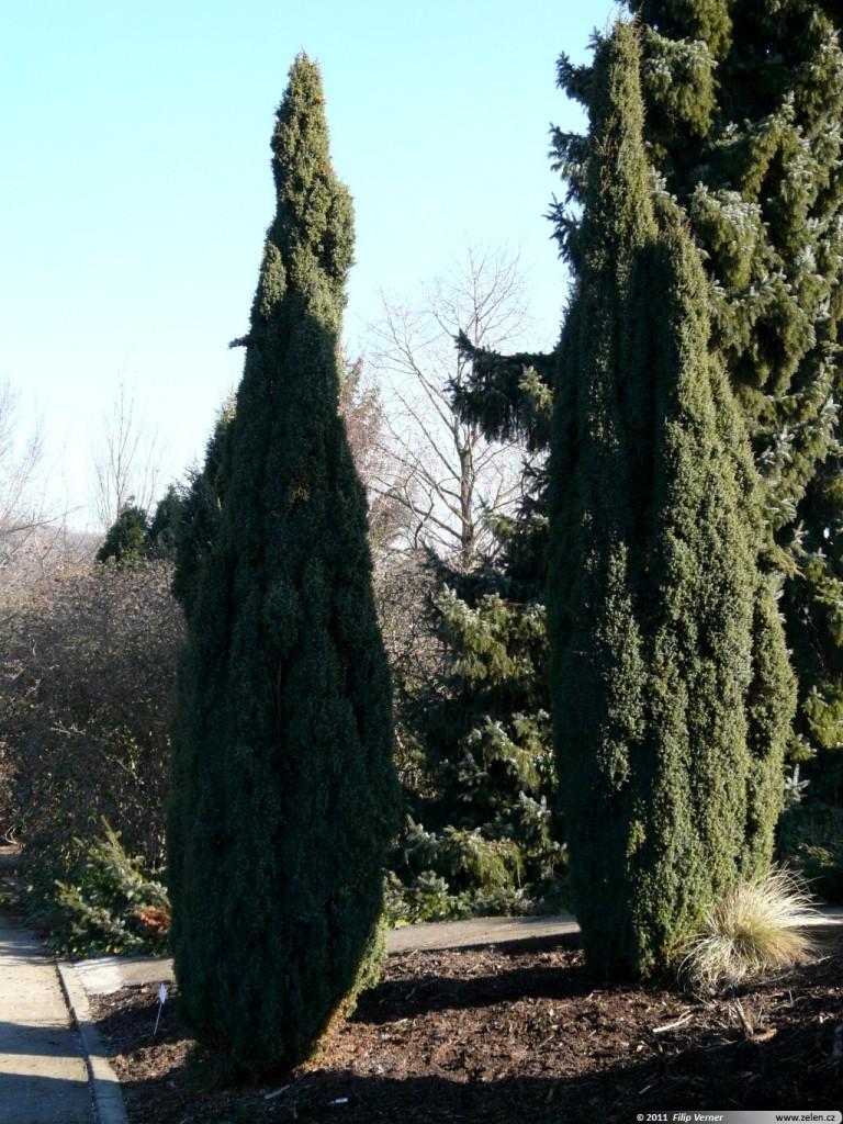 juniperus communis hibernica jalovec obecn stricta. Black Bedroom Furniture Sets. Home Design Ideas