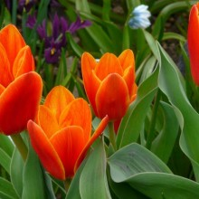 Tulipa kaufmanniana 'Love Song'