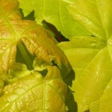 Acer saccharinum 'Lutescens'