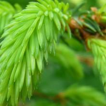 Picea abies | mladý výhon