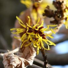 Hamamelis mollis | květ