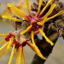 Hamamelis mollis 'Brevipetala'