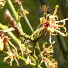 Hamamelis vernalis | květ