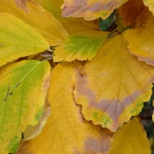 Hamamelis vernalis | list podzim