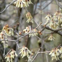 Chimonanthus praecox | květy