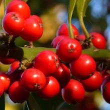 Ilex aquifolium | plody