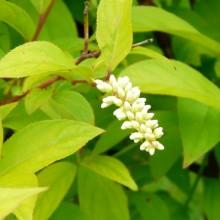Itea japonica 'Beppu'