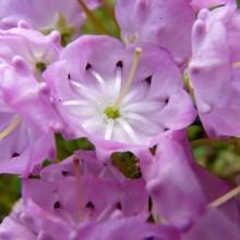 Kalmia polifolia | květ