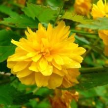 Kerria japonica 'Pleniflora' | květ
