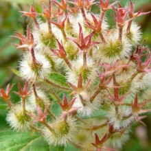Kolkwitzia amabilis | plod