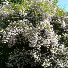 Kolkwitzia amabilis | habitus