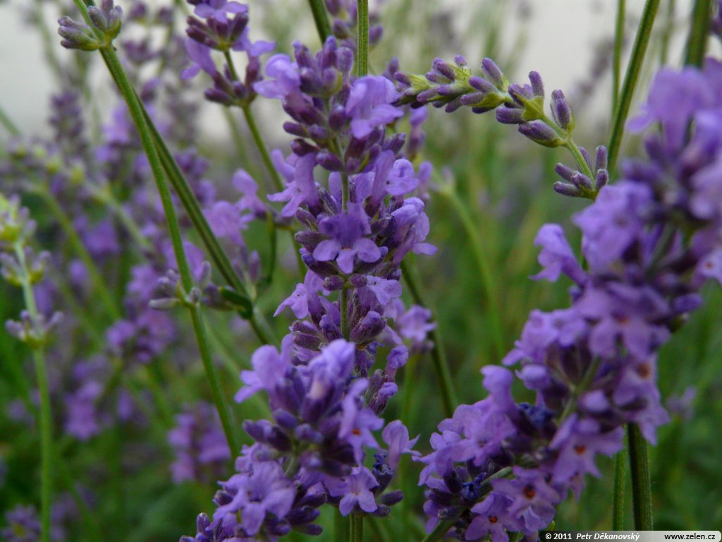 lavandula angustifolia hidcote blue pictures. Black Bedroom Furniture Sets. Home Design Ideas