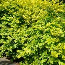 Ligustrum vulgare 'Aureovariegatum'
