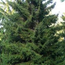 Picea orientalis 'Atrovirens'
