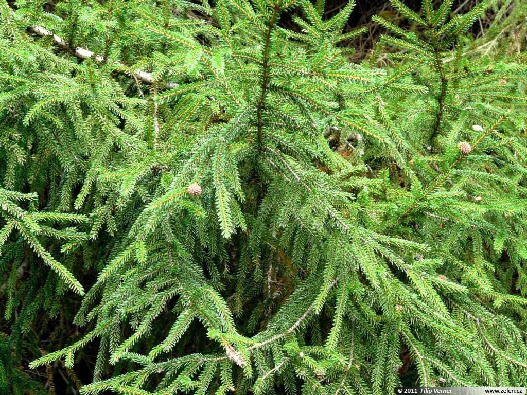 Picea orientalis atrovirens