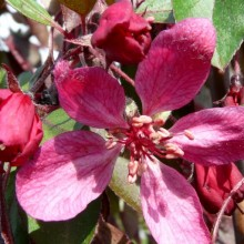 Malus hybr. 'Royal Beauty'